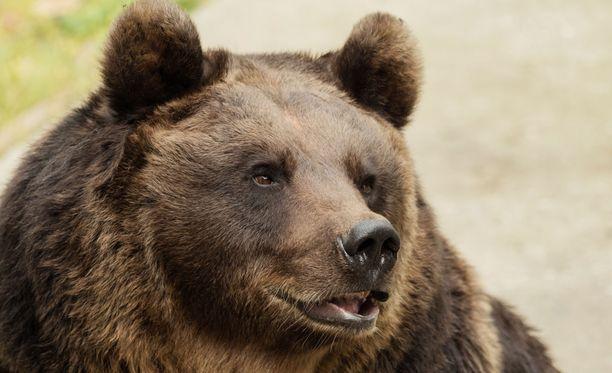 Kainuun käräjäoikeuden mukaan syytetty ei ollut menetellyt metsästysrikoksen edellyttämällä törkeällä huolimattomuudella. Kuvan karhu ei liity tapaukseen. Kuvituskuva
