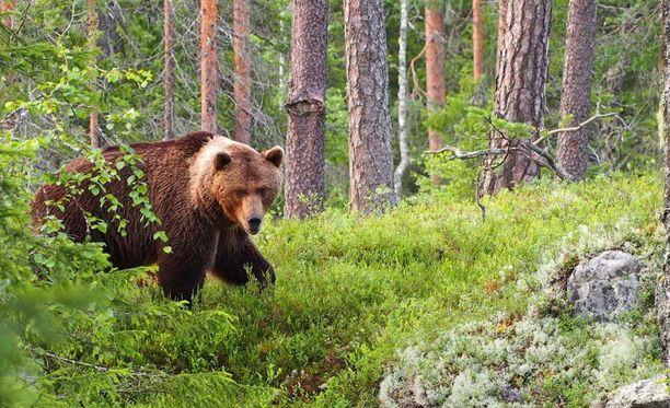 Karhun kohtaaminen lähietäisyydeltä on aina ollut Amir Näverin unelma.