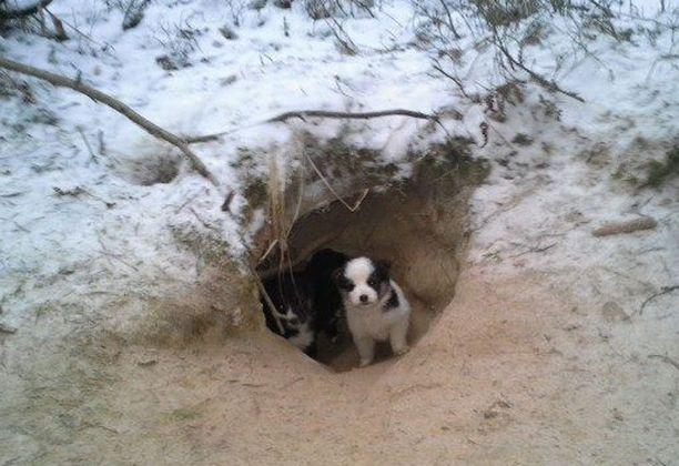 Koiranpennut löytyivät metsästä kuopasta. Koirien pelastajat arvelevat, että pennut ovat olleet kuopassa sunnuntaihin saakka.