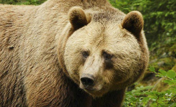 Eläintarhan karhun hyökkäys vei Mihaela Lulealta jalan. Kuvan yksilö ei liity tapaukseen.