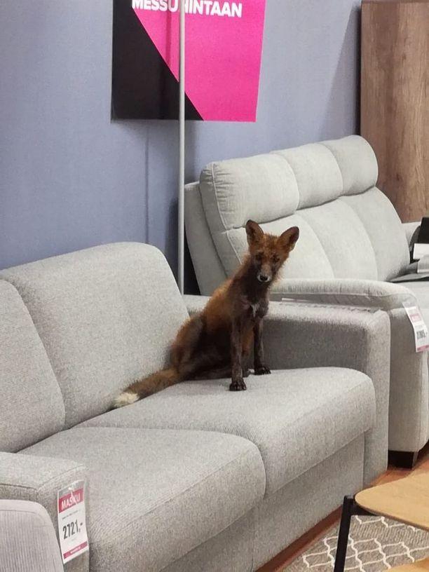 Kettu istui huonekaluliikkeessä mallikappaleena olleella sohvalla.