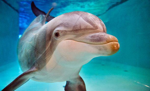 Särkänniemen delfinaariossa on nykyään neljä pullokuonodelfiiniä.
