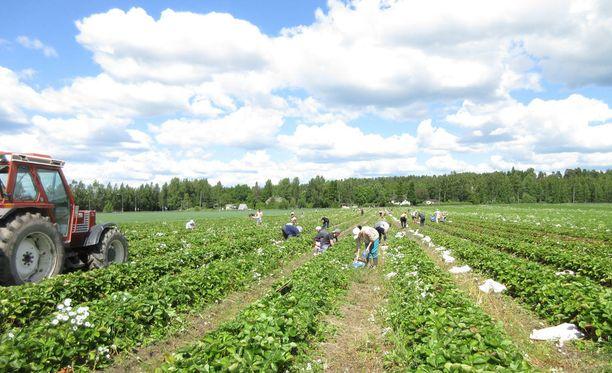 Suurin osa nyt luvan saaneista kausityöläisistä työskentelee kesäsesongin ajan marjanviljelyssä ja maataloudessa. Kuvituskuva.