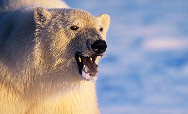 Isä meni jääkarhun ja tyttäriensä väliin, tytöt pääsivät karkuun. Arkistokuva.
