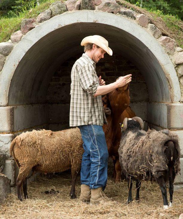 Tuukka Temonen kertoo, että pässit ovat sulassa sovussa Rosita-lehmän kanssa samassa aitauksessa.