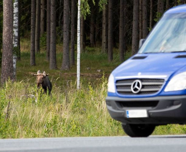 Janoinen hirvi tavattiin keskiviikkona Punkalaitumella. Hirvi pelästyi autosta noussutta kuvaajaa ja pakeni metsään.