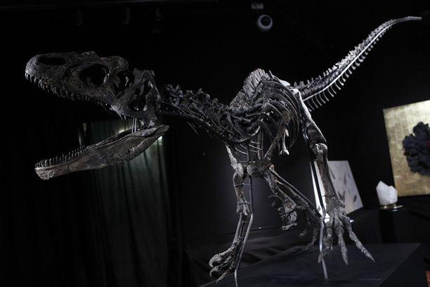 Kuvan Allosaurus Jimmadseni eli jurakaudella eli reilut 145 miljoonaa vuotta sitten. Se löydettiin Yhdysvaltojen Wyomingista ja myytiin nyt huutokaupalla.
