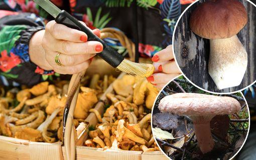 Kantarellit, tatit ja 5 muuta sienilajia ovat terveyspommeja! Voivat pitää loitolla jopa syöpää