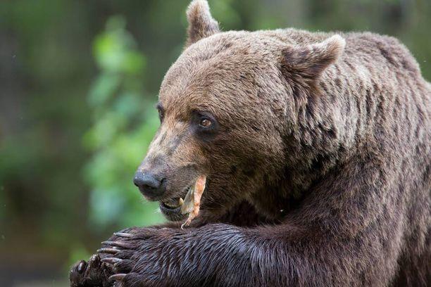 Karhu ilmestyi Putinin puheisiin vuonna 2013. Karhulla pitää olla hampaat ja kynnet, Putin opastaa.