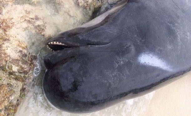 Lyhyteväpallopäävalaat rantautuvat useammin kuin muut valaslajit.