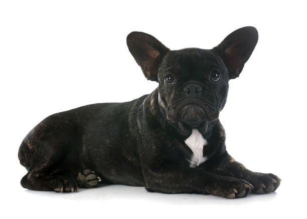 Ranskanbulldoggi kuuluu kirjan asiantuntijoiden mukaan mopsin ja englanninbulldoggin ohella kaikkein sairaimpiin koirarotuihin.