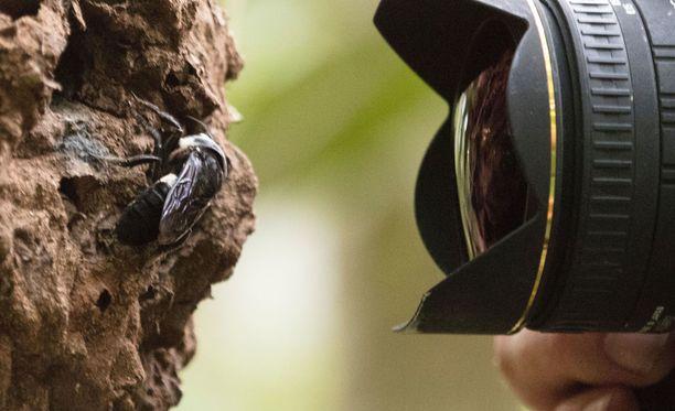 Naaras tekee pesänsä aktiivisessa käytössä olevaan termiittikekoon. Mehiläinen kerää jättiläisleuoillaan pihkaa, josta se muotoilee pesäänsä termiittien kestävän suojakuoren.