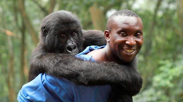 Virungan kansallispuistossa asuvien vuorigorilloiden elinoloja kuvattiin dokumenttielokuvassa.