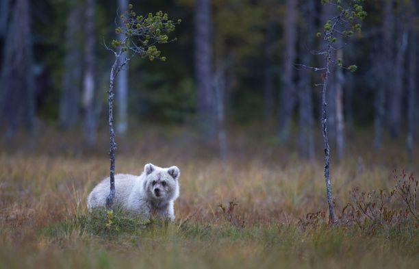 Vaikka vaalea karhu ei luontoon maastoudukaan, ei vaaleasta väristä ole karhulle tutkijan mukaan suurta haittaa.