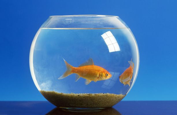 48 % mielestä kutlakala on kaikkein tylsin lemmikkieläin.