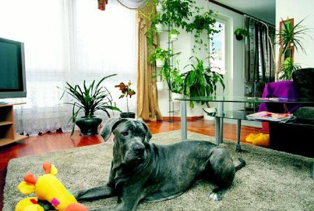 Vahti Berta-mastiffilta ei jää yksikään sisälle pyrkivä vieras ilmoittamatta. Bertan takana näkyy terassinovi, josta murhaaja tunkeutui sisään vuosi sitten.