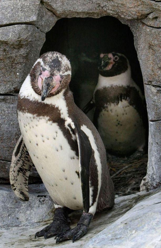 Kaksi urospingviiniä hautoi hylättyä munaa, kunnes se kuoriutui.