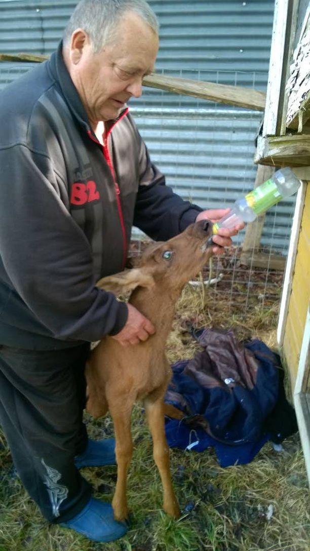 Itärajan tuntumassa asuva Seppo pelasti vastasyntyneen hirvenvasan juottamalla sille ternimaitoa.