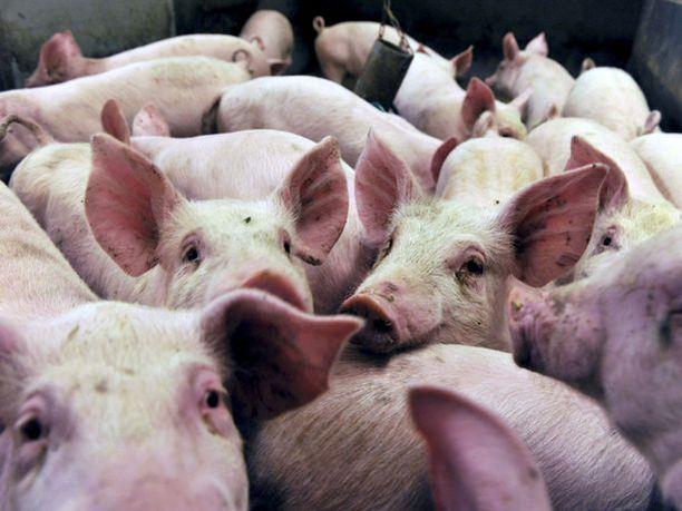 Lenkkeilijä oli kuullut sikojen huutavan teurastamolla. Kuvituskuva.