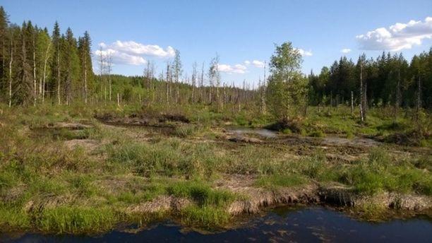 Kuvassa taustalla on koelouhoksesta valuneen veden tappamaa metsää.