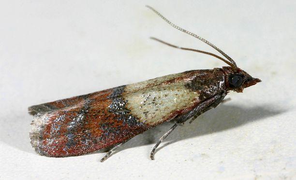 Henrin löytämät hyönteiset ovat keittiökoisia eli intianjauhokoisia. Aikuisella on tyviosastaan vaaleat ja kärjestään ruskeat siivet, joiden kärkiväli on noin kaksi senttimetriä.