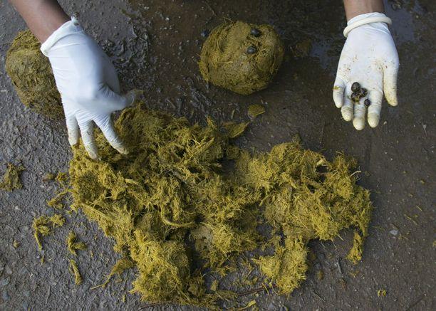 Pavut noukitaan norsun jätöksistä, jonka jälkeen ne pestään ja paahdetaan.
