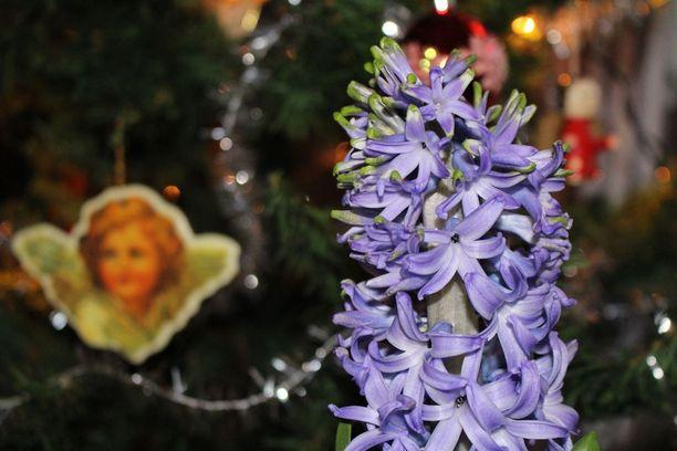Tuoksuvat joulukukat saavat tuoksuherkät niiskuttamaan. Tuoksuttomia vaihtoehtoja kuitenkin löytyy, esimerkiksi joulutähti ja joulukaktus.