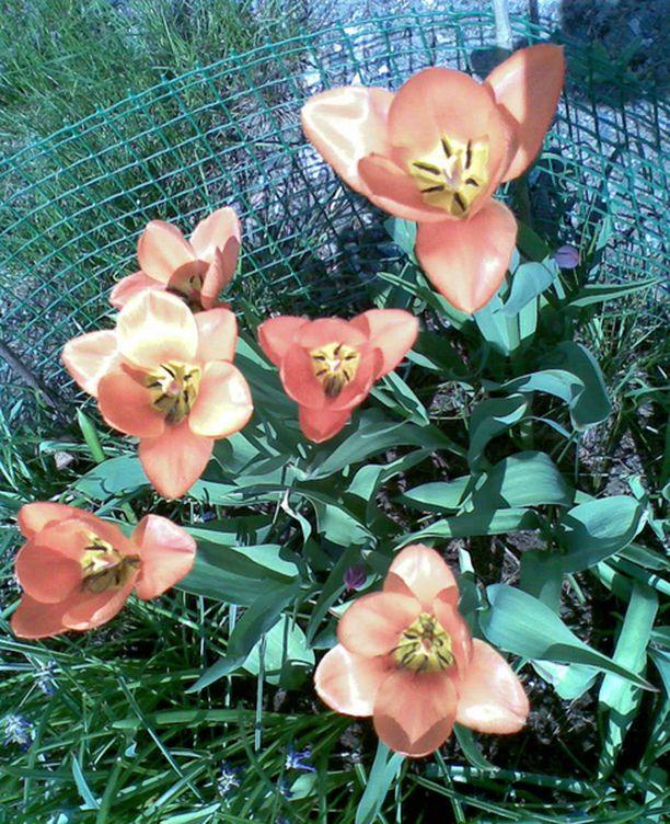Kukat ovat laajalti täydessä terässä jo toukokuun alussa.