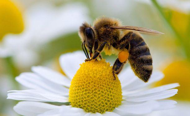 Maailman mehiläispopulaatio on kasvanut.