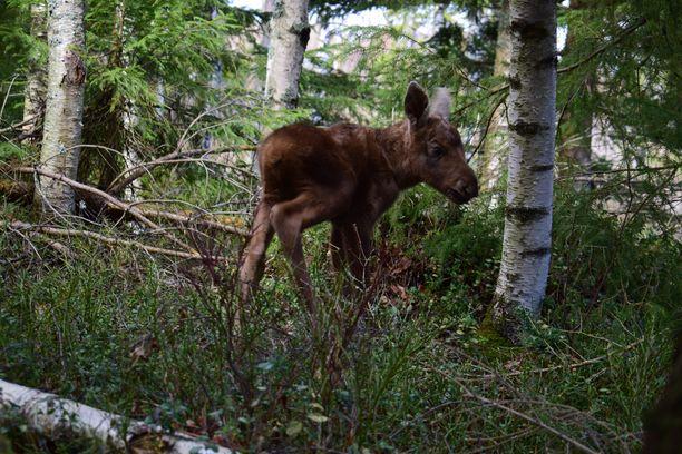 Pikku-hirvi saa kasvaa Markku Harjun mailla, missä sitä ruokitaan toistaiseksi tuttipullosta. Isompana sille löytyy muita hirvikavereita aiemmin pelastetuista yksilöistä.
