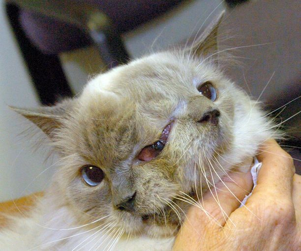 Harvinainen Janus-kissa oli omistajansa mukaan joidenkin mielestä rujon näköinen, mutta niin seurallinen, että se hurmasi kaikki vieraat.