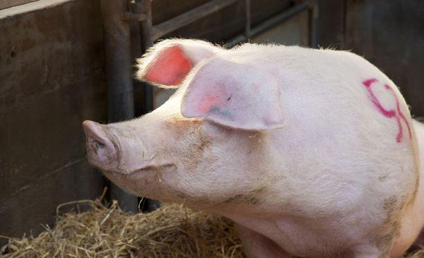 Sikalanhoitajat löysivät alastoman miehen karsinasta 250-kiloisen karjun kanssa. Kuvan sika ei liity tapaukseen.