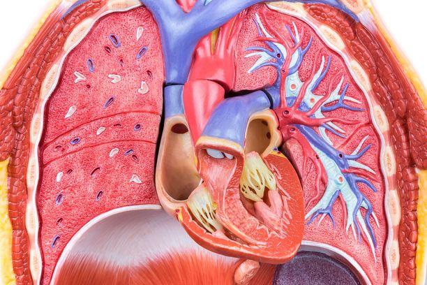 """Ihmisen sydänpussista löytyi """"korjaajasoluja"""", jotka voivat mahdollistaa uusia hoitoja ainakin joihinkin sydänsairauksiin."""