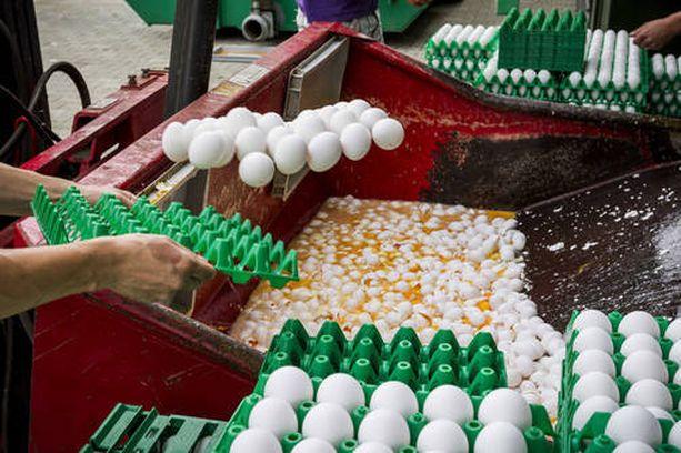 Kuva Hollannista viime viikolla, kun miljoonia munia heitettiin pois.