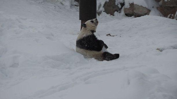 Lumi-panda otti ilon irti päästyään ensimmäistä kertaa elämässään lumeen.