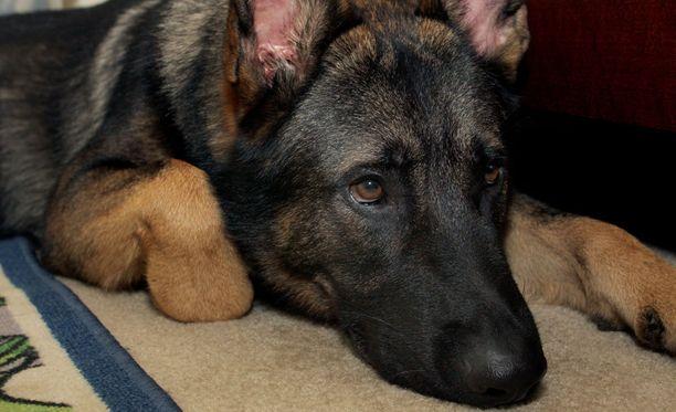 Koira puri erästä miestä kyynärvarteen ja pakaraan. Kuvan koira ei liity tapaukseen.