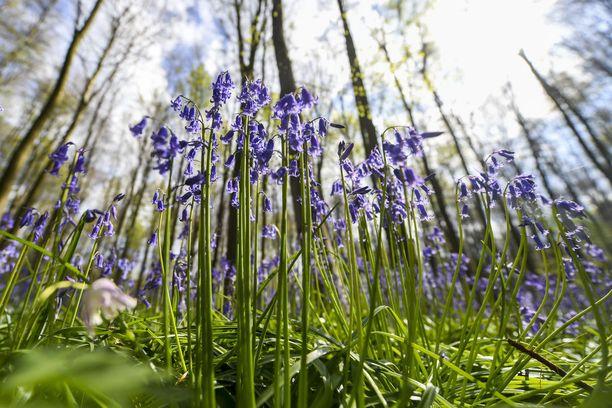 Siniset kukat värjäävät maan Hallerbosin metsässä.