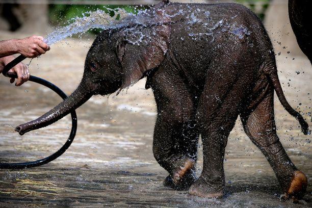 Afrikannorsu (Loxodonta africana) on suurin maalla elävä nisäkäs.