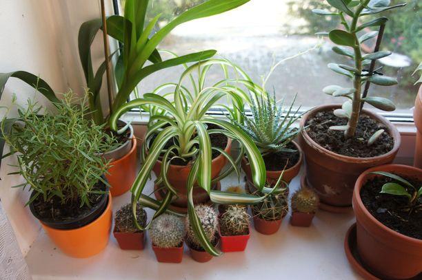 Uusi tutkimus kumoaa harhaluulon, että kasvit puhdistaisivat sisäilmaa.