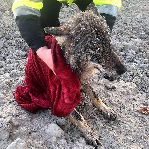 Eläin oli kylmettynyt pahasti hyisessä vedessä.