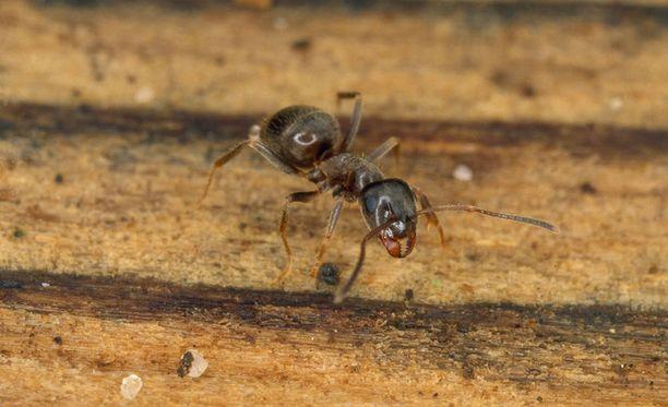 Jos muurahaiset ovat jokakesäinen riesa, kannattaa koko sokkelin ympäristö myrkyttää, Siltala kertoo.