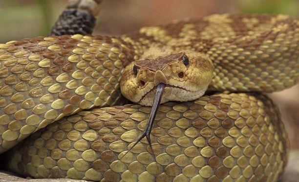 Myrkytyslääkäri varoittaa tappamasta käärmeitä, erityisesti katkaisemalla ne kahtia. - Se on julmaa eläimelle, sanoo lääkäri.