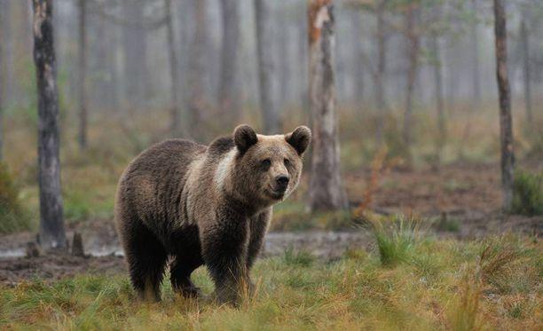 Mies kertoo nähneensä karhun ensimmäistä kertaa luonnossa. Kuvituskuva.