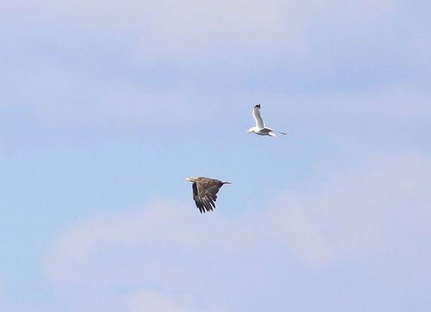 Kalasääskeksi luultu lintu olikin merikotka.