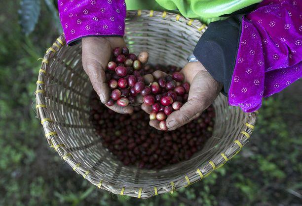 Yhteen kiloon Black Ivory -kahvia tarvitaan 33 kiloa kahvinpapuja.