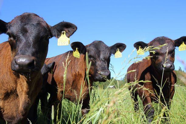 Muutaman kuukauden ikäiset vasikat käyttäytyvät Lauri Annilan mukaan kuin teinit; kokoontuvat yhteen hölmöilemään. Tilalla on tällä hetkellä noin 30 vasikkaa. Eläimet teurastetaan noin 1,5-vuotiaina.