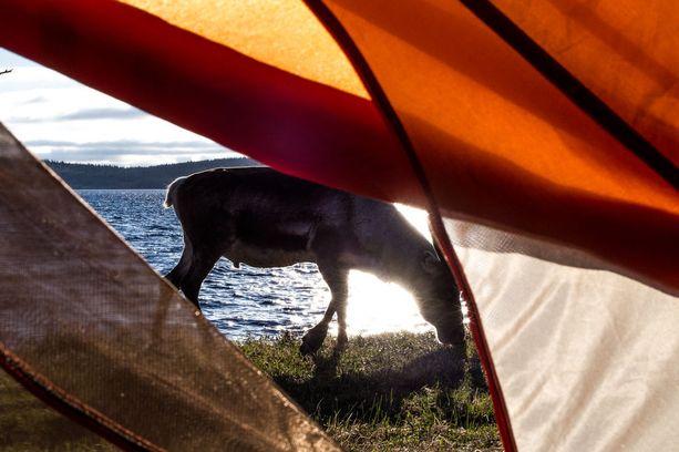 Poro teltan ovella Pallas-Yllästunturin kansallispuistossa.