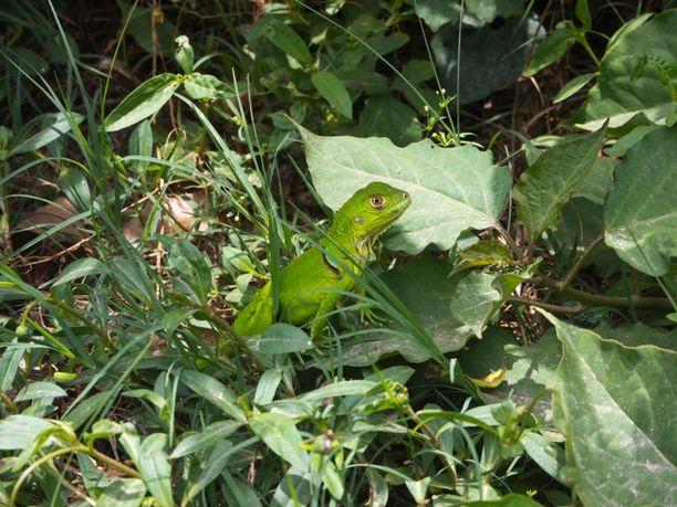 Lisko Tayronan kansallispuistossa.