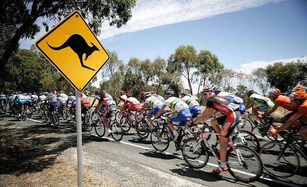 Kengurut voivat Australiassa olla vaarallisia sekä pyöräilijöille että autoilijoille.