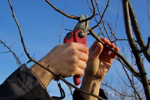 Pääsiäisenä puutarhoissa napsuvat sekatöörit.